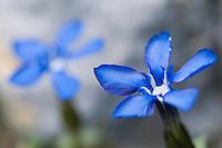 Gentiana verna; Spring gentian flower, mountain area near Steg, Lichtenstein