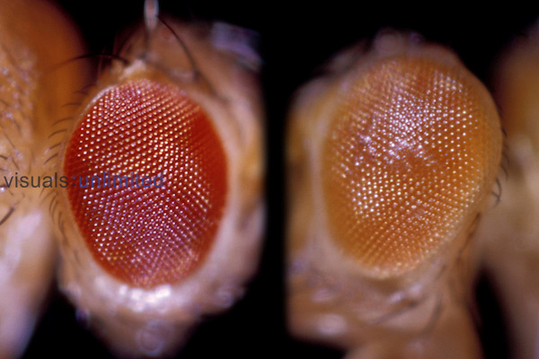 Drosophila Fruit Fly eye comparison: Wild (left) and White-Eosin (right)