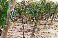Vineyard. Merlot vines. Bacalhoa Vinhos, Azeitao, Portugal