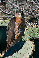 Cooper's Hawk on Prickly Pear Cactus