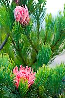 A pink mink protea (Proteacae family) blooms among the lavender fields of Alii Kula Lavender farm at the base of Haleakala, Kula