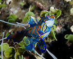 The nightly mating dance of mandarinfish (mandarin dragonet) begins near the rubble bottom, when the female consenting to be approached cheek-to-cheek by the smaller male.  Swimming cheek-to-cheek, the pair circle and rise a few inches, then release and part.