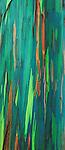 Painted bark eucalyptus, along the Hana Coast, Island of Maui, Hawaii