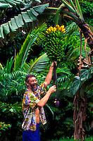 Man picking a large harvest of apple banana's