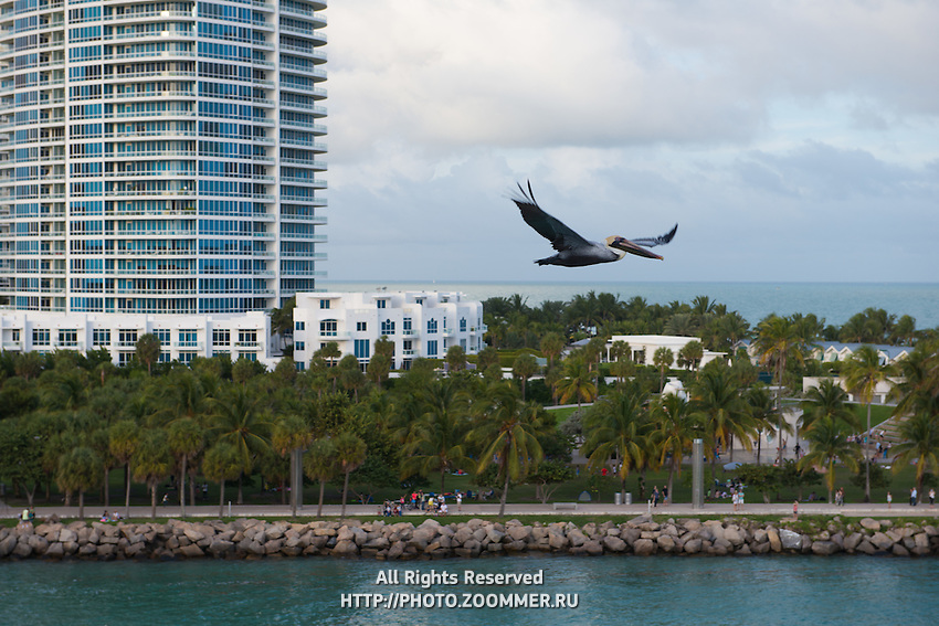 Pelican fly over South Pointe Beach, Miami