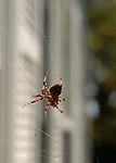 Spider who lives outside my apartment in West Babylon, NY on September 11, 2008. Photo by Jim Peppler. Copyright Jim Peppler/2008.