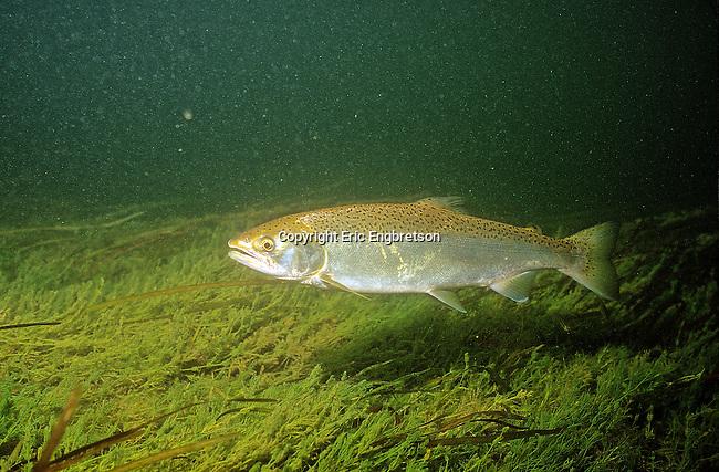 Steelhead engbretson underwater photography for Platte river michigan fishing
