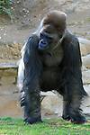 Silver Back Gorilla touching his toes.