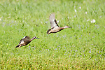 Brazoria County, Damon, Texas; a male/female breeding pair of Blue-winged Teal (Anas discors) ducks flying along the bank of the slough