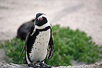 Africa, South Africa, Simons Town, Boulders Beach. African Penguin at Boulders Beach near Simons Town on False Bay.