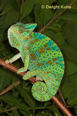 CH39-515z  Female Veiled Chameleon in display colors, Chamaeleo calyptratus