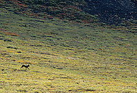 Black wolf on the tundra in Atigun canyon, Brooks mountain range, Alaska