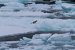 Alkefjellet, a large bird colony in Arctic Svalbard, Norway.  A glaucous gull attempts to bite an arctic fox as the fox runs across the ice flow.