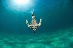 Dragon sea moth (Eurypegasus draconis)
