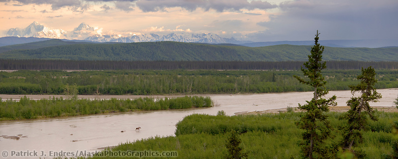 Moose crosses the Tanana River, Alaska range mountains in the distance.