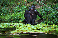 Bonobo female and adolescent male sexual behavior (Pan paniscus), Lola Ya Bonobo Sanctuary, Democratic Republic of Congo.