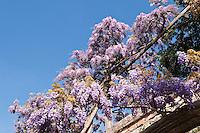 Purple wisteria in full bloom