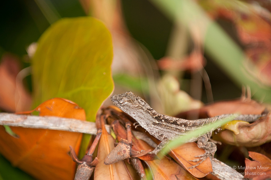 Ding Darling National Wildlife Refuge, Sanibel Island, Florida; a Brown Anole (Anolis sagrei) lizard sits on a pile of leaves at the base of a mangrove plant © Matthew Meier Photography, matthewmeierphoto.com All Rights Reserved