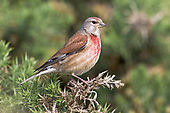Linnet - Carduelis cannabina - adult male