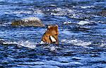 Grizzly or brown bear, Katmai National Park, Alaska