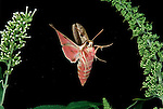 Spurge Hawk Moth, Hyles euphorbiae, in flight, flying, high speed photographic technique, pink colours.United Kingdom....