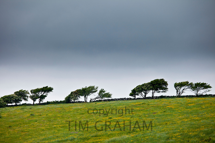 Windswept trees in barren landscape in The Burren, County Clare, West of Ireland