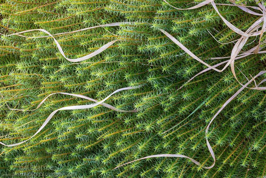 Common Haircap Moss {Polytrichum commune} growing in bogland. Peak District National Park, Derbyshire, UK. April.