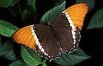 Spiroeta epaphus Butterfly, Brown Bamboo Page, with wings open showing orange band.Central America....