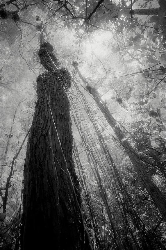 Tree and lianas<br /> From &quot;Beyond Red&quot; series. Florida Everglades, 2008