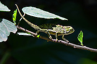 Flap-neck Chameleon (Chamaeleo dilepis) Tanzania, Africa