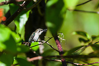 An endemic female Bee Hummingbird (Mellisuga helenae) vocalizing from a secluded perch. Cuba.