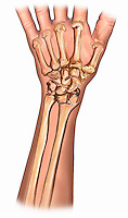 Biomedical illustration of the dorsal bones of the wrist that make up the wrist joint and radiocarpal joint. The eight carpal bones are the: scaphoid, lunate, triquetral, pisiform, trapezium, trapezoid, capitate, and hamate.