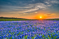 This was the first year we took photos of Muleshoes increadible bluebonnets they were so thick as far as you could see and on this day we were able to capture a colorful sunset.  For some reason the next year this whole field never came back.  Yet there was still plenty of bluebonnet but not in the direction of the sunset.  Of course right now this whole area is under water so we may never see anything like them again.