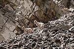 Bighhorn Sheep lambs on a rock slide in Rock Creek drainage in western Montana