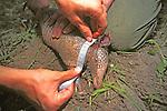 Measuring Nine-banded Armadillo