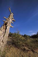 Dead Tree in Dunes Beach Pinery Provincial Park Ontario