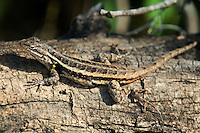 469300023 a wild rosebelly lizard sceloporus variabilis marmoratus sits on a downed tree in the santa ana national wildlife refuge in south texas