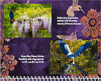 "June of the 2014 Birds of a Feather Calendar. Photo is called ""Wisteria blossoms and Stellars Jay"" and ""Heron X Marks The Spot"".  A great blue heron (Ardea herodias) is seen dipping into a pond while opening his wings.  The reflection of the wings is seen in the water at the Ridgefield National Wildlife Refuge."
