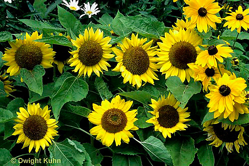 HS13-042a  Sunflower - Dwarf Big Smile - Helianthus spp.