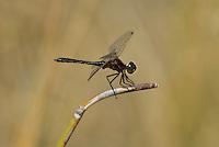 362690009 a wild male black meadowhawk sympetrum danae perches on a stick near de chambeau ponds in mono county california united states