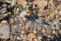 Großer Blaupfeil, Männchen, Schwarzspitzen-Blaupfeil, Orthetrum cancellatum, black-tailed skimmer, male, Orthétrum réticulé