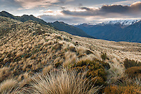 Alpine flora on mountain ridge near Mount Brown Hut and sunrise, West Coast, South Westland, New Zealand