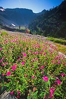 Wildflowers at Mt. St. Helens National Volcanic Monument, Washington, US