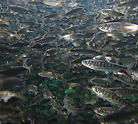 Chinook Salmon (smolts)<br />