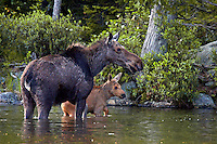 #M15 Cow Moose with Wading Calf