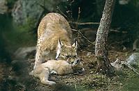 Europäischer Luchs, Muttertier, Weibchen mit ihren Jungen, Jungtier, Eurasischer Luchs, Nordluchs, Nord-Luchs, Felis lynx, Lynx lynx, lynx, Lynx d`Europe