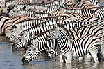 Burchell's (plains) zebra, Equus burchelli, at waterhole, Etosha National Park, Namibia