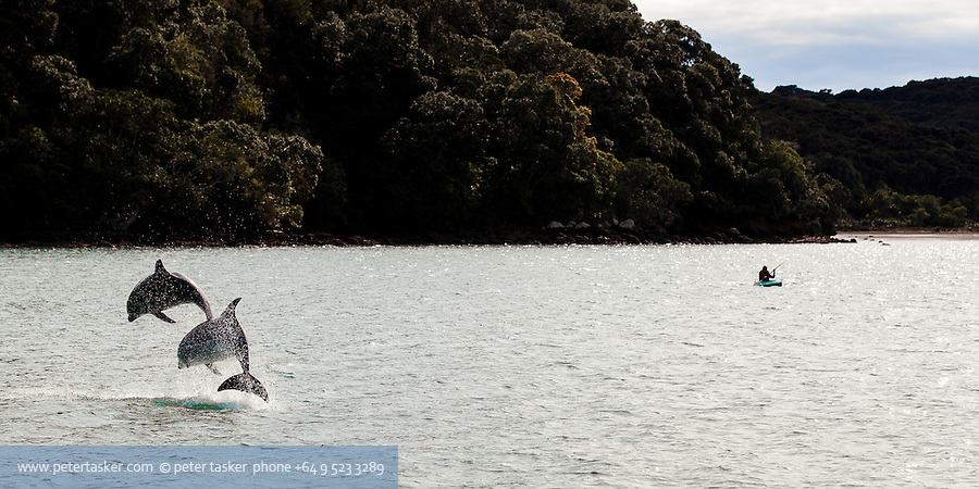 Two dolphins in synchronised leap. Rocky Bay, Waiheke Island, New Zealand.