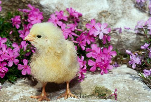 Chick in blooming phlox in rock garden, Missouri USA