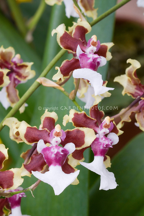 Orchids Oncidium Sharry Baby 'Tricolor', a popular hybrid greatly fragrant